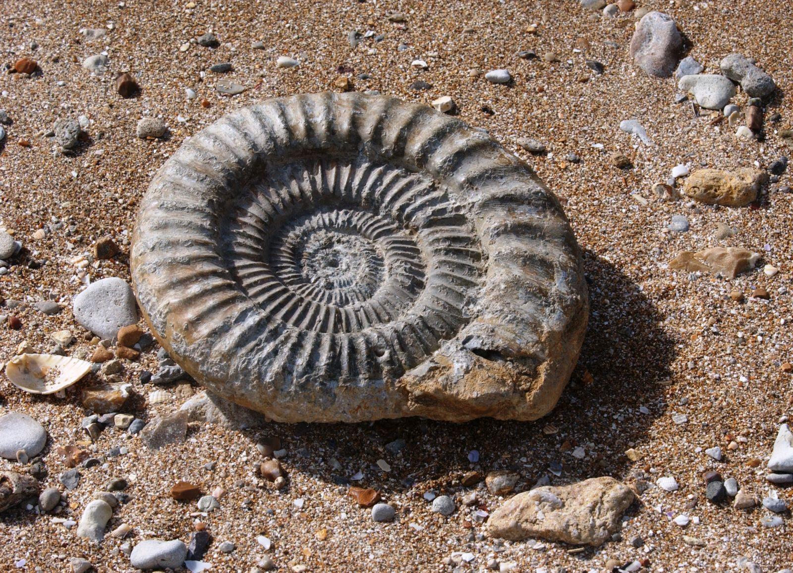 Ammonite dans le sable